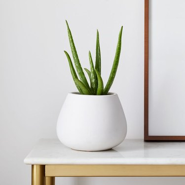 aloe vera plant in white planter