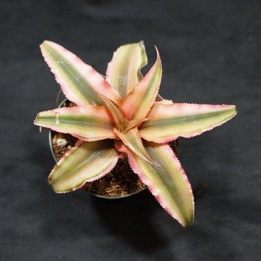 Cryptanthus 'Pink Star'