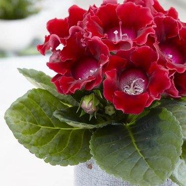 Gloxinia Flower plant