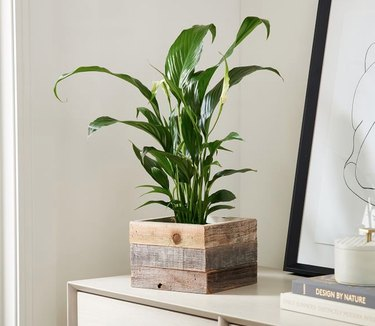 Peace Lily plant in wood planter