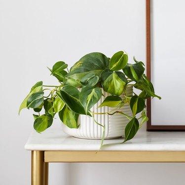 Golden Pothos in white planter
