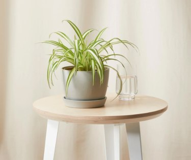 Spider Plant in gray planter on table