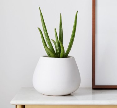 Aloe Vera Plant in white planter