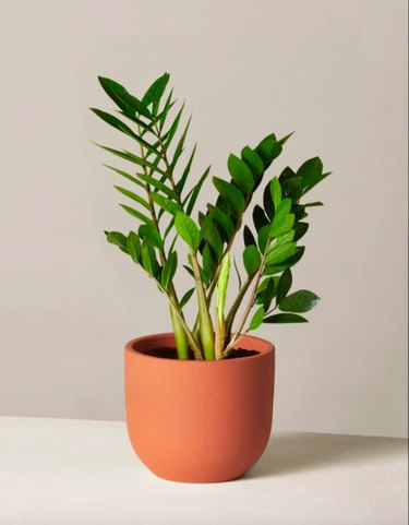 The Sill ZZ Plant