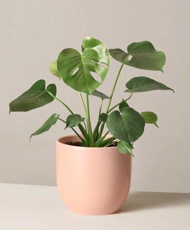 Monstera plant in peach colored planter