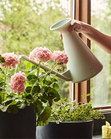 person holding watering can over flowers