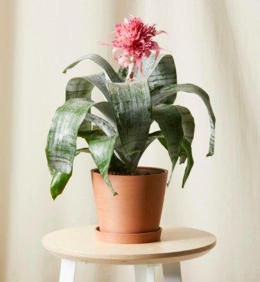 Urn plant Bromeliad