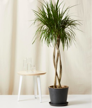 Dragon Tree in black planter
