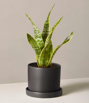 Snake plant in black planter
