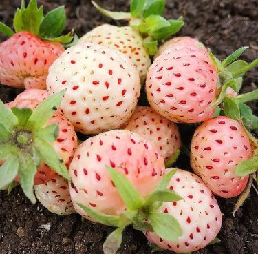 pineberries on ground