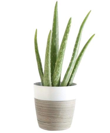 Aloe Vera plant in planter