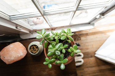 Jade plant by window