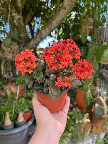 Flaming katy plant