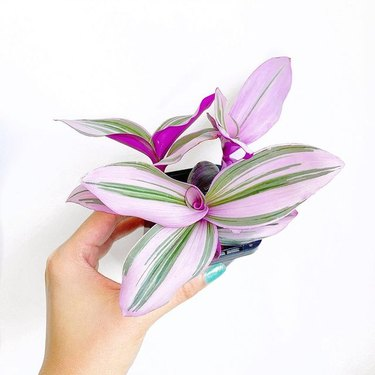 Tradescantia Nanouk plant being held in hand