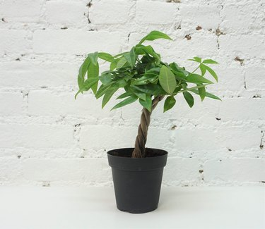 feng shui money tree plant