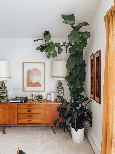 Train the branches of your Fiddle Leaf Fig using floral tape and fishing line.
