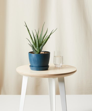Aloe plant in blue container