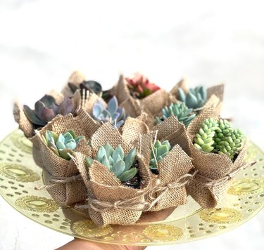 Assortment of small colorful succulents wrapped in burlap