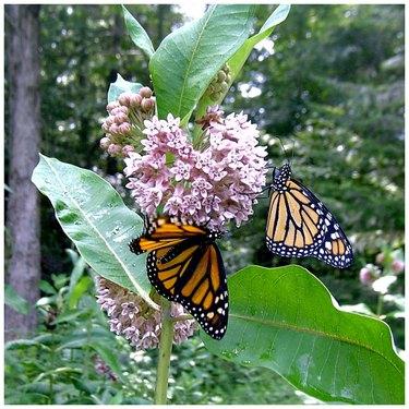 Milkweed plant with butterflies