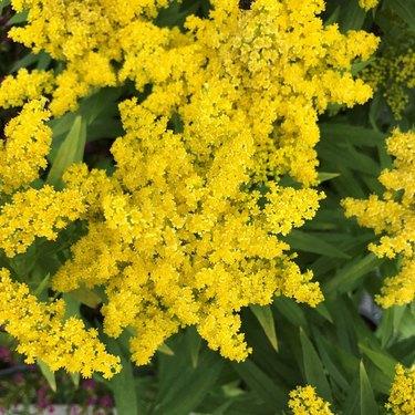 Stiff Goldenrod plant