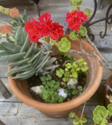 Geranium and succulents.