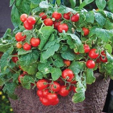 Potted cherry tomatoes.
