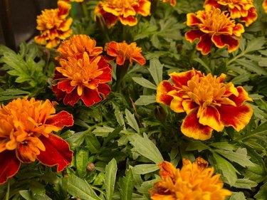 marigold patio plant