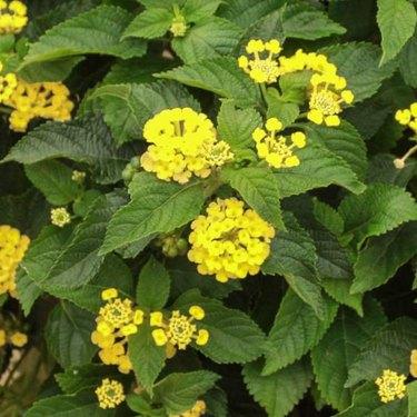 lantana patio plant