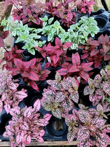 Polka Dot Plants
