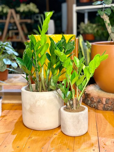 two zz plants in off-white planters