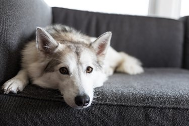 A dog laying on a gray couch.
