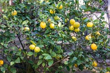 A lemon tree
