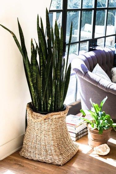 A snake plant in a wicker basket on wood flooring