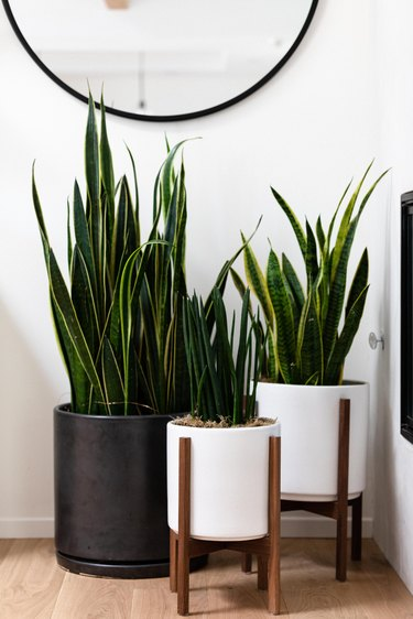 snake plant in modern plant stand