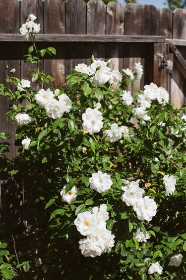 White rose bush and a wood fence
