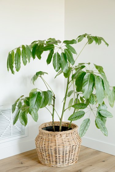 A large weeping fig houseplant in a woven basket in front of a white wall. There's a white air vent on the wall next to the plant.