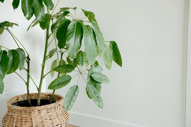 A large green houseplant in a woven basket in front of a white wall.