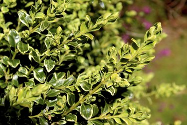 Image of variegated boxwood / box shrub (Buxus Sempervirens 'Variegata')