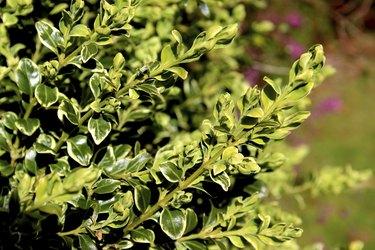 Image of variegated boxwood / box shrub (Buxus Sempervirens 'Variegata')