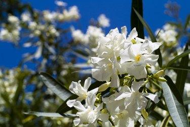 Oleander in flowering