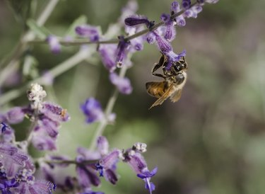 Bee on Desert Sage 2
