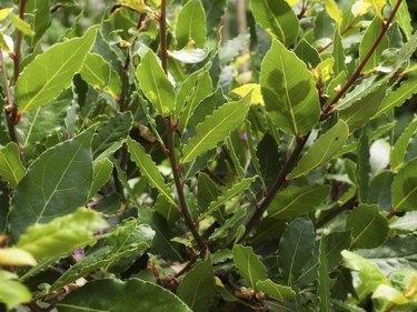 Close-up of bay laurel leaves