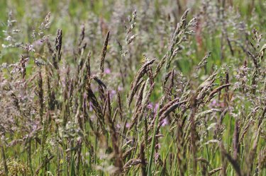 Summer Meadow with different Grass