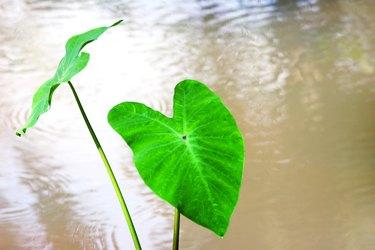 Close up of a big green leaf