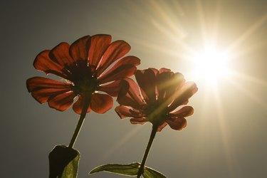 Bright Sun Flowers