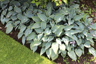 Image of silver hosta plants in shady garden border, herbaceous