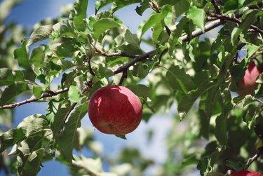 Apple on tree branch
