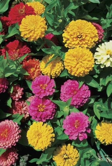 Close-up of Zinnias flowers, Georgia, USA