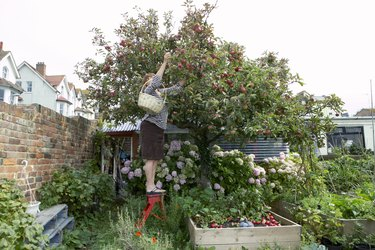 woman stretching up to pick apples from tree