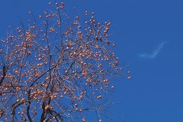 Persimmons tree